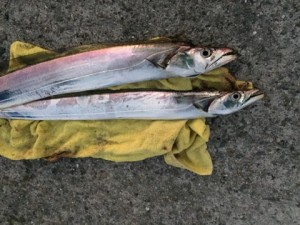 夕方の南芦屋浜まさかの太刀魚最盛期!?