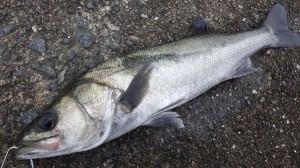 ケーソン ハネもチヌも釣れています