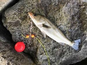 【潮が動かない!?ながらもチヌ49cm♪】南芦屋浜釣果