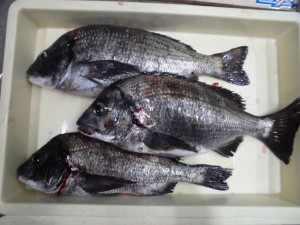 紀州釣りで年無しサイズのお持込みです!