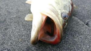 琵琶湖プリスポーン 釣れてますよ!