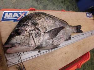 【青岸】フカセ釣りでチヌの釣果お持込みです!