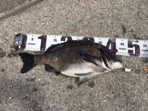 フカセ釣りでチヌ釣れました♪南芦屋浜