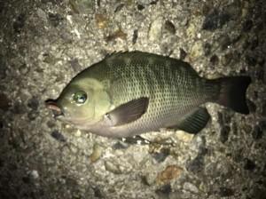 夜釣り釣れはじめました♪♪