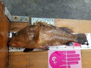 【神戸第6防】今年初釣りで45センチのBIGアコウをゲット!!