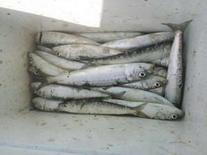 深日漁港マイワシ好調!100匹以上の大漁釣果!!