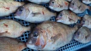★白浜沖で大爆釣★タイラバで真鯛祭りだ!!