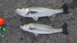 今日も【エビ撒き】ハネ・チヌ釣れています♪