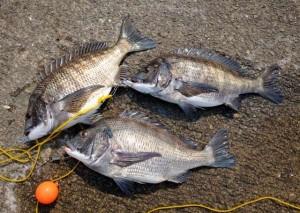 鳴尾浜もチヌの好釣果でています!