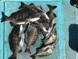 堺にてフカセ釣りからエビ撒き釣り
