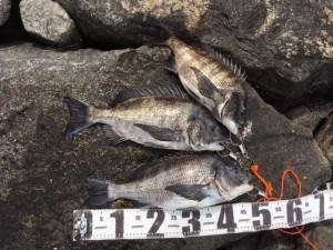 良型チヌ釣れてます♪南芦屋浜