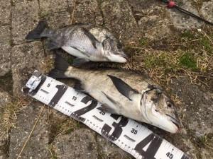紀州釣りで良型チヌ釣れました♪南芦屋浜