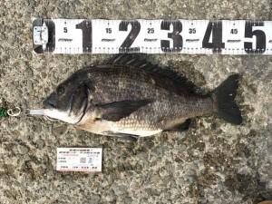 【エビでくろ鯛♪】南芦屋浜釣果情報