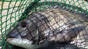 丸島・濁りきつい中チヌ釣れてます!