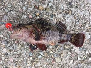 垂水周辺でガシラを釣ってきました!!!