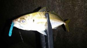 貝塚人工島アジングでアジ釣れ始めました!!