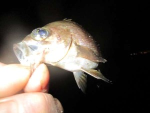 兵突で青イソメのウキ流し釣りが楽しい!