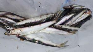 鳴尾浜公園 カタクチイワシ釣れています!