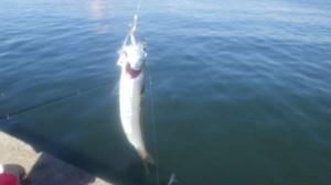 サビキで『豆サバ』 イワシも釣れていました。