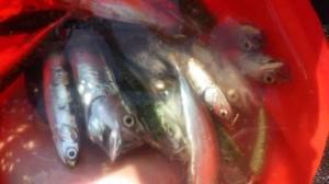 豆・小サバが大漁!泉大津楽しいサビキ釣り