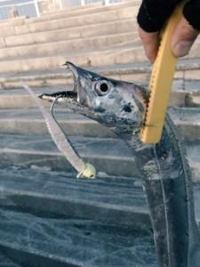 マリーナシティのタチウオの釣果!