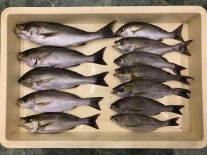 楠井漁港でのイサキの釣果!