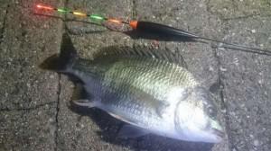 【夜の南芦屋浜】魚種豊富で楽しめます!