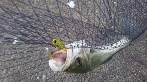 【珍怪魚】シーバス連発かと思いきや、釣れた魚は?