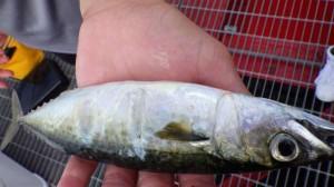 尼崎公園 けっこうアジも釣れています