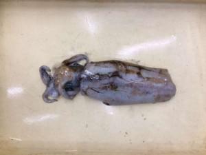 エギでのアオリイカのお持込み釣果