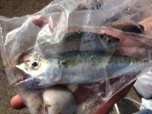 食コンリアル エビ撒き釣りでも夏チヌ
