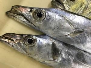 大津川尻で太刀魚からのメッキ!