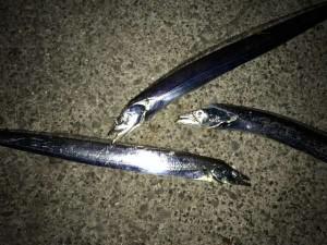 タチウオ連日の好釣果♪南芦屋浜
