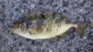貝塚人工島リアル タチウオ釣れてました!