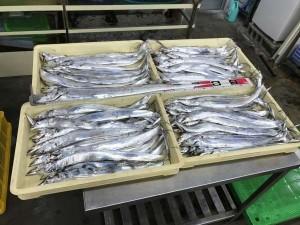 泉大津 太刀魚106本