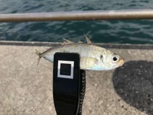 【サビキ釣りで良型アジ】まだ釣れてます!!!