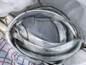 泉大津リアル 太刀魚にハマチ
