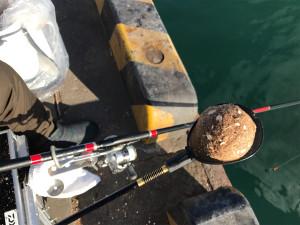 超リアル 青岸 紀州釣りでマコガレイ⁉︎