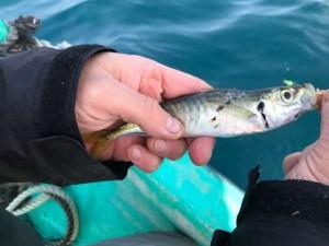 初釣りで寒ビラメ2枚!串本カセで高級魚!