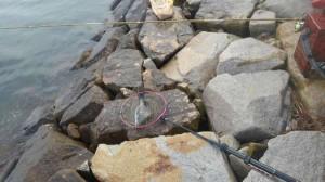 東側石畳でチヌ釣れました♪南芦屋浜RT
