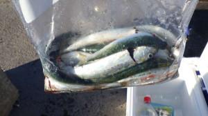 マイワシ釣るのが楽しい!