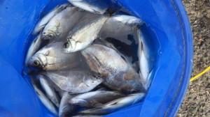 サビキ釣りが簡単で面白く楽しい!