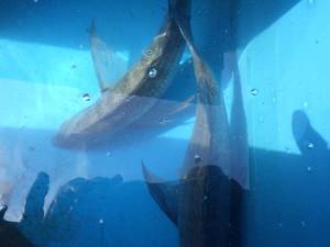 【平磯】 三週連続でアノ魚が・・・♪♪